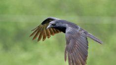 Assista vídeo divertido de corvos brincando com neve