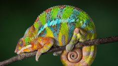 Camaleões se comunicam através das trocas de cor, diz estudo