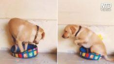Adorável cão tenta entrar em minúscula cama de cachorro, mas isso não o detém