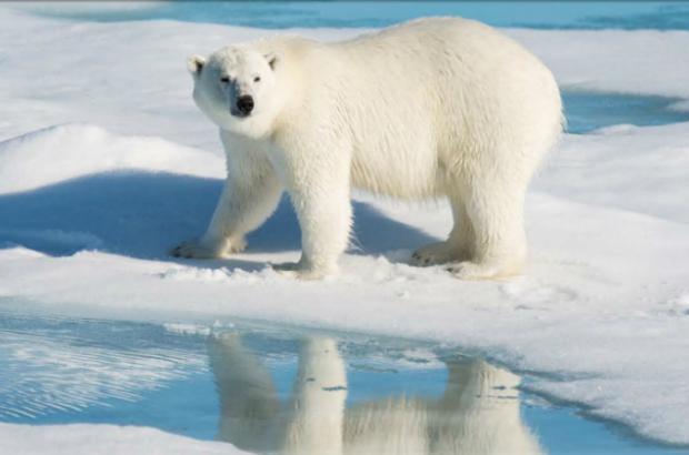 Contrariando previsão de ambientalistas, ursos polares gozam de boa saúde, diz cientista (Vídeo)