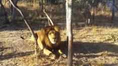 Leão está relaxando quando algo o espreita furtivamente por trás. Confira o que acontece!