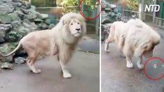 Majestoso leão é surpreendido por bolha de sabão. Sua reação é bem engraçada!