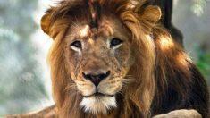 Leoa mata leão em zoológico dos EUA
