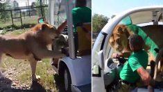 Leão pula dentro de carro em safari na Crimeia e lambe turistas