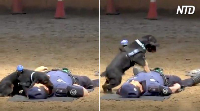 Cachorro faz primeiros socorros em homem e se torna viral na internet