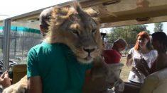 Leão pula sobre turistas em safári para receber carícias
