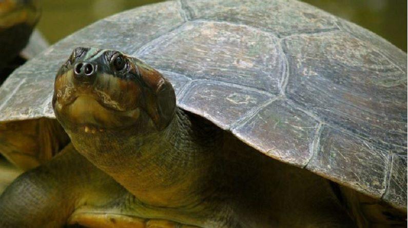 Tartaruga da Amazônia reaparece após décadas de conservação