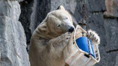 """Rússia declara emergência com mais de 50 ursos polares invadindo a cidade e""""perseguindo moradores aterrorizados"""""""