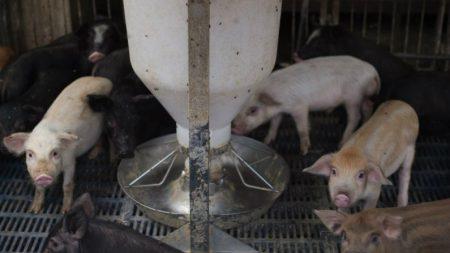China começa a usar tecnologia de reconhecimento facial na criação de porcos