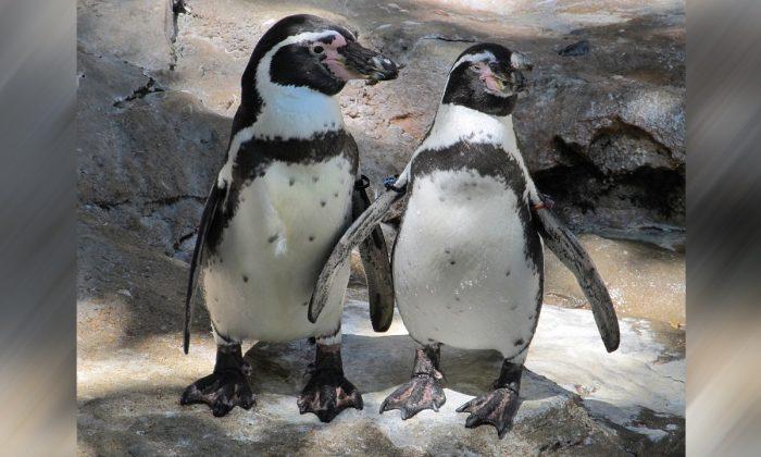 Polícia remove dois pinguins de sushi bar na Nova Zelândia, mas eles retornam (vídeo)