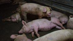 Peste suína africana faz preço da carne de porco disparar na China