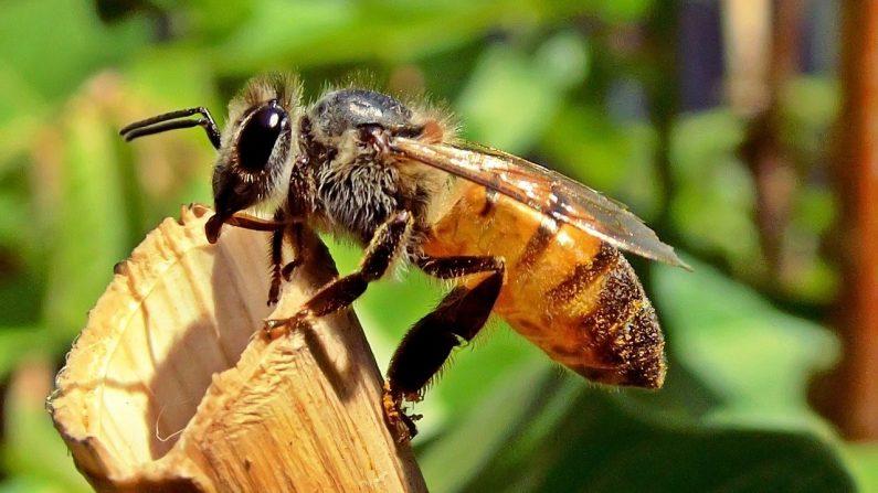 Veneno de abelha mata células de câncer de mama em laboratório, afirma 'emocionante' estudo
