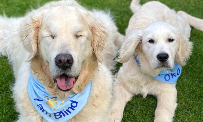 Cão golden retriever cego tem seu próprio cão-guia para ajudá-lo a se orientar nas caminhadas