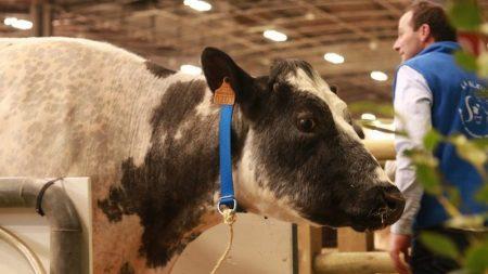Vaca astuta foge para a floresta para evitar abate e faz amizade com uma manada de veados