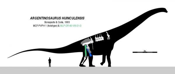 Restauração esquelética e diagrama em escala de um argentinossauro. ( Weasel de ardósia )