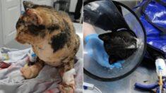 Voluntários resgatam seis gatos após incêndios florestais na Sibéria: uma estava grávida!
