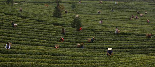 Trabalhadores agrícolas coletam folhas de chá em uma plantação de chá nos arredores de Chongqing Township, China, em 9 de março de 2007 (China Photos / Getty Images) Atualmente, não há vacina disponível para tratar a doença.