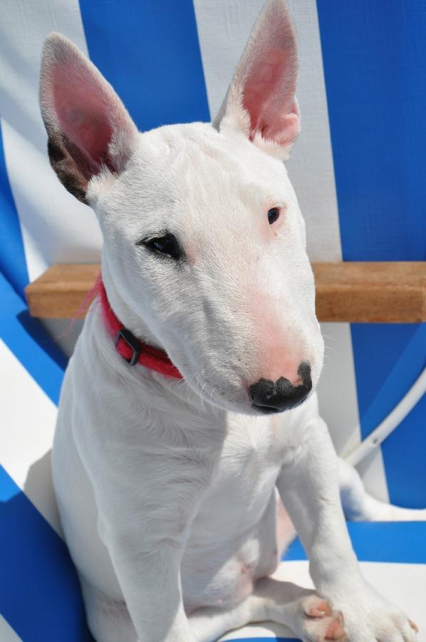 Foto de arquivo de um bull terrier (Domínio Público / PxAqui)