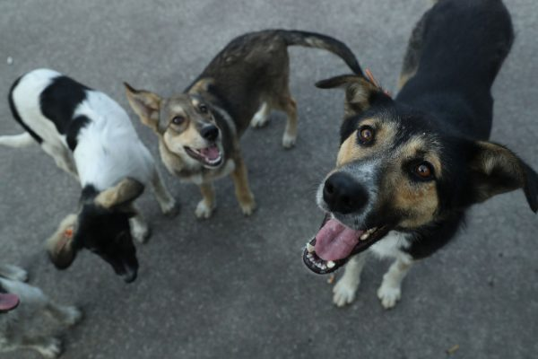 Cães vadios procuram por comida. Imagem ilustrativa (Sean Gallup / Getty Images)